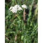 Achillea mille fiori TT 100 grammi
