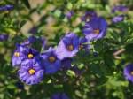 La genziana: pianta affascinante dai mille segreti